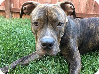 American Staffordshire Terrier Dog for adoption in Huntington Beach, California - Maya