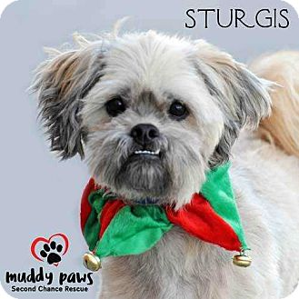 Lhasa Apso/Schnauzer (Standard) Mix Dog for adoption in Council Bluffs, Iowa - Sturgis