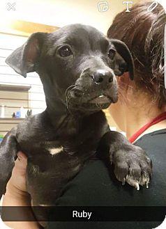 Labrador Retriever Mix Puppy for adoption in Willows, California - Ruby
