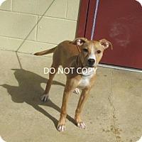 Adopt A Pet :: Bailee - Rocky Mount, NC