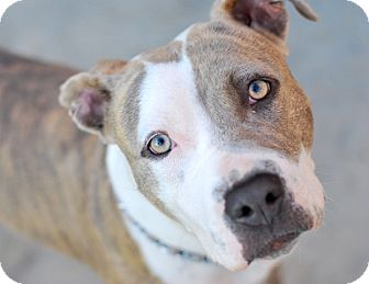 Pit Bull Terrier/Boxer Mix Dog for adoption in Bellflower, California - Molly