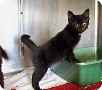 Domestic Shorthair Kitten for adoption in Dover, Ohio - Reba