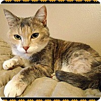 Domestic Shorthair Cat for adoption in Valley Park, Missouri - Isabella