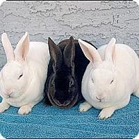 Adopt A Pet :: Maya, Mira & Moonglow - Phoenix, AZ