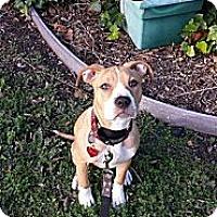 Adopt A Pet :: Honey - San Jose, CA
