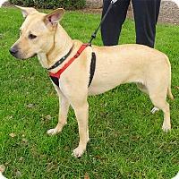 Adopt A Pet :: Goldie family dog - Sacramento, CA