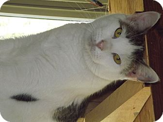 Domestic Shorthair Cat for adoption in Shelbyville, Tennessee - Bose