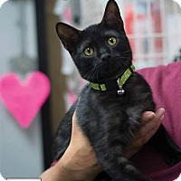 Adopt A Pet :: Chong - Albuquerque, NM