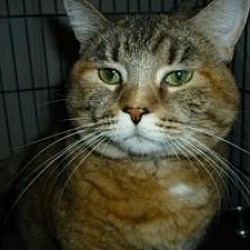 Photo 1 - Domestic Shorthair Cat for adoption in Milwaukee, Wisconsin - Sara