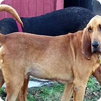 Adopt A Pet :: Roscoe - Fayetteville, AR