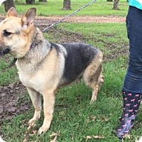 German Shepherd Dog Dog for adoption in Fort Worth, Texas - Sawyer