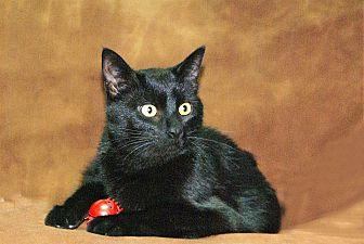 Domestic Shorthair Kitten for adoption in Hawk Point, Missouri - Noodle