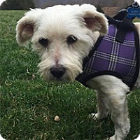 Westie, West Highland White Terrier Mix Dog for adoption in Wilmington, Massachusetts - Wrangler