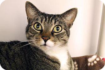 Domestic Shorthair Cat for adoption in Bellevue, Washington - Jasper
