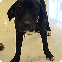 Adopt A Pet :: Landry in CT - Manchester, CT