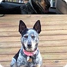 Adopt A Pet :: Becky the Aussie