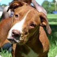 American Bulldog/Catahoula Leopard Dog Mix Dog for adoption in Stillwater, Oklahoma - Samuel