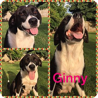 Labrador Retriever Mix Dog for adoption in Enfield, Connecticut - Ginny