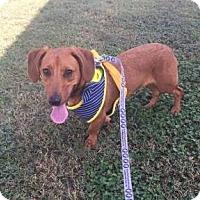 Adopt A Pet :: Thin Mint - Austin, TX