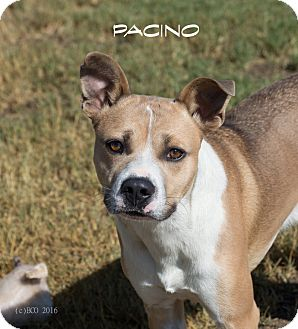 Cattle Dog/Pit Bull Terrier Mix Dog for adoption in Patterson, California - Pacino