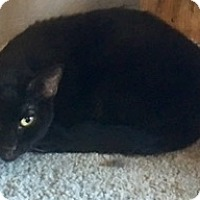 Bombay Cat for adoption in Houston, Texas - Charming