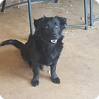 Corgi/Border Collie Mix Dog for adoption in Snyder, Texas - Nate