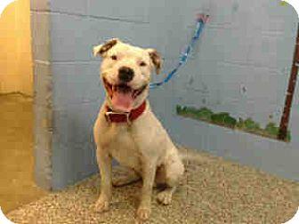 Pit Bull Terrier Mix Dog for adoption in San Bernardino, California - URGENT ON 11/16 San Bernardino