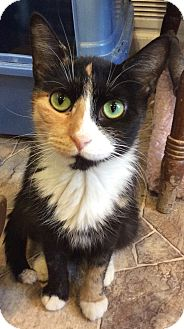 Domestic Shorthair Cat for adoption in Breinigsville, Pennsylvania - Tippy
