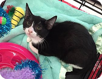 Domestic Mediumhair Kitten for adoption in Mansfield, Texas - Nick