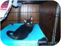 Domestic Shorthair Kitten for adoption in Grand Rapids, Michigan - Kung Fu