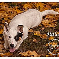 Adopt A Pet :: Hailey - Westfield, NY