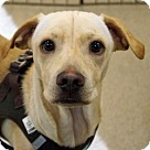 Adopt A Pet :: Schroeder