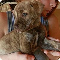 Adopt A Pet :: Sasha - South Jersey, NJ