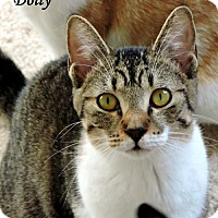 Domestic Shorthair Cat for adoption in Dallas, Texas - Dolly