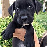Adopt A Pet :: Royal Pup - Maud - Adopted! - San Diego, CA