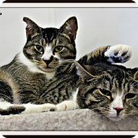 Domestic Shorthair Cat for adoption in Dunkirk, New York - Lucky &Tidy