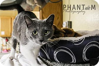 Domestic Shorthair Cat for adoption in Durand, Wisconsin - Margarita
