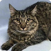 Adopt A Pet :: Krunchy Kat Klassic MC - Westerly, RI