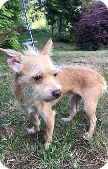 Terrier (Unknown Type, Small) Mix Dog for adoption in Tumwater, Washington - Jerry