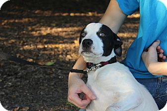 American Staffordshire Terrier/Terrier (Unknown Type, Medium) Mix Puppy for adoption in Danville, Illinois - SANDY OLSON