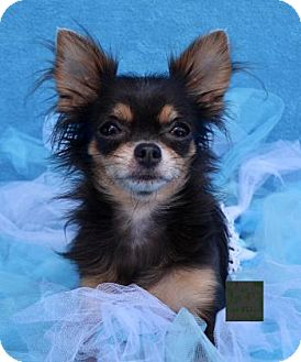 Chihuahua Dog for adoption in Picayune, Mississippi - COURTESY POST- Katie