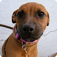 Boston Terrier Mix Dog for adoption in Sunnyvale, California - Faith