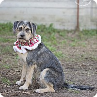 Schnauzer (Standard)/Terrier (Unknown Type, Medium) Mix Dog for adoption in Boston, Massachusetts - Deacon