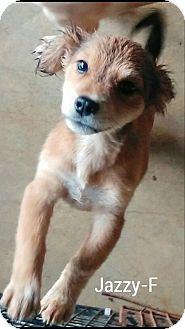 Shih Tzu Mix Puppy for adoption in Hagerstown, Maryland - Jazzy