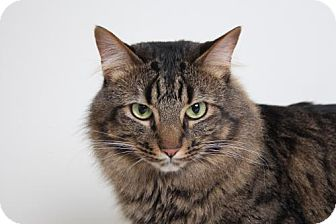 Maine Coon Cat for adoption in Edina, Minnesota - Rufus C170013