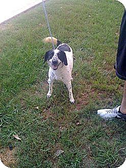 Spaniel (Unknown Type)/Pointer Mix Dog for adoption in Baton Rouge, Louisiana - Kallie