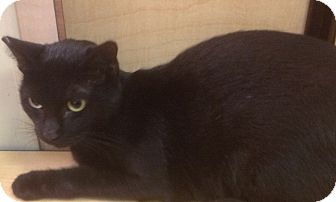 Domestic Shorthair Cat for adoption in Modesto, California - Sooty