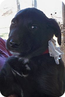 Labrador Retriever Mix Puppy for adoption in Manchester, Connecticut - Buford in Manchester Ct