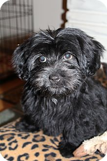Scottie, Scottish Terrier/Shih Tzu Mix Puppy for adoption in Hagerstown, Maryland - Prada