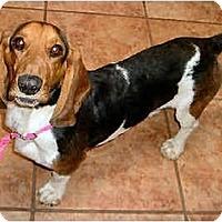 Adopt A Pet :: Atti - Phoenix, AZ